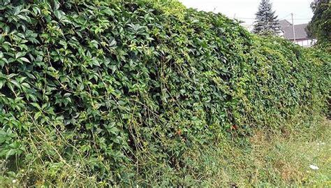 Sichtschutz Im Garten Gestalten Pflanzen Pflegen by Garten Gestalten Pflanzen Sichtschutz Garten