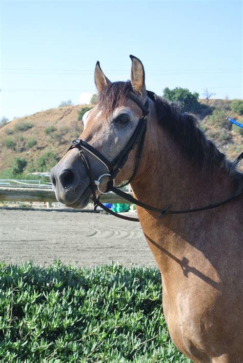 horses spanish pure