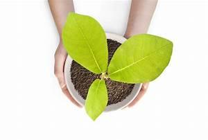 Magnolien Vermehren Durch Stecklinge : magnolie selber ziehen drei methoden detailliert erkl rt ~ Lizthompson.info Haus und Dekorationen
