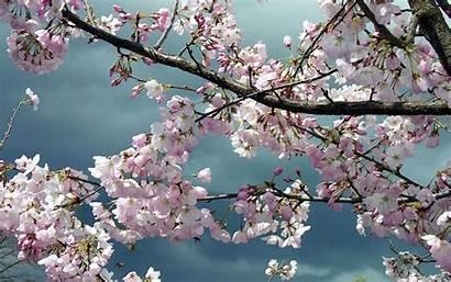 Sakura Wallpapers Cool