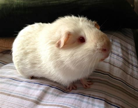Have Another Albino Guinea Pig