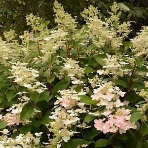 Plantes Et Jardin : hortensia paniculata 39 early sensation 39 plantes et jardins ~ Melissatoandfro.com Idées de Décoration