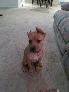 Pitbull Boxer Mix Puppy