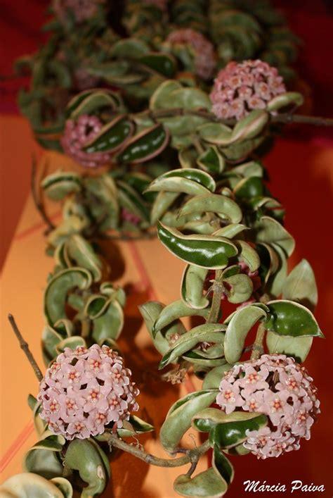flor de cera hoya carnosa nome cientifico hoya
