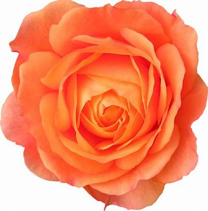 Orange Flower Flowers Rose Transparent Isolated Colorful