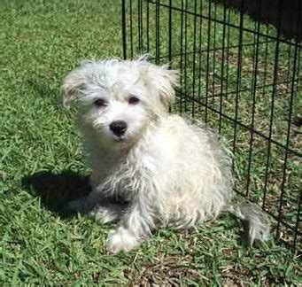 weshi west highland white terrier shih tzu mix info