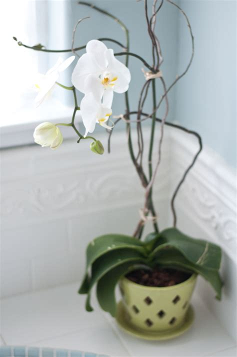 how to make an orchid rebloom the orchid whisperer centsational girl