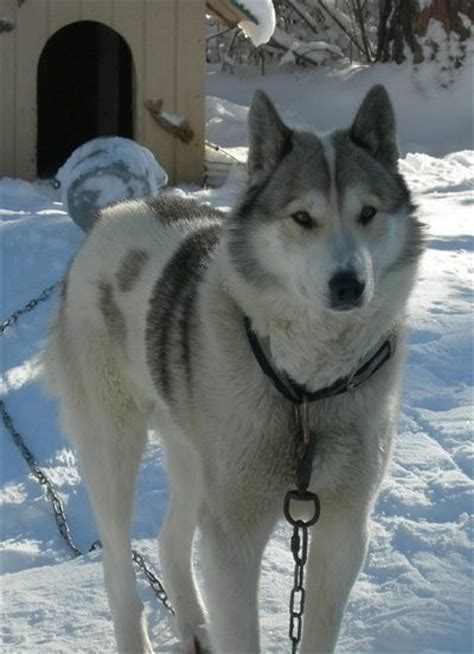 64 Best West Siberian Laika Images On Pinterest Doggies