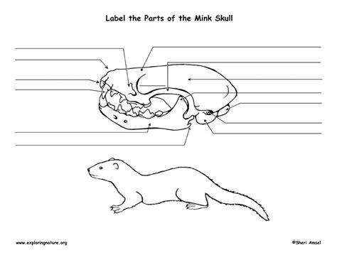 mink skull diagram  labeling