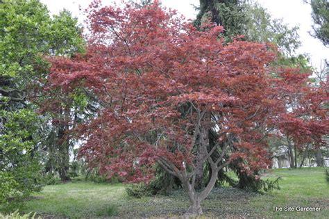 planting a japanese maple acer palmatum chikushigata the site gardener