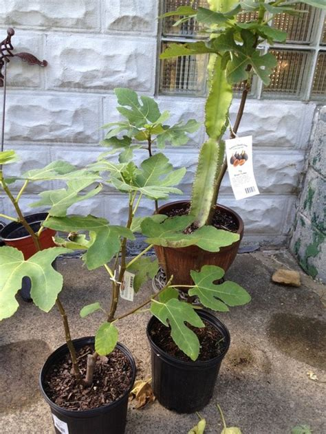 how to care for fig trees in pots the winter