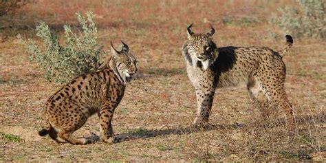 lynx iberian asian naturalist gonzalez sergio trail travelling