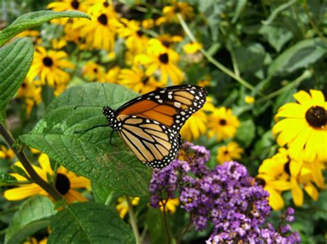 planting butterfly gardens house plans