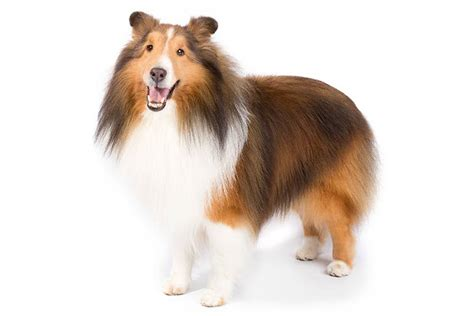 shetland sheepdog dog breed information