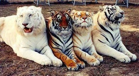 From Left Right Snow White Tiger Normal Golden
