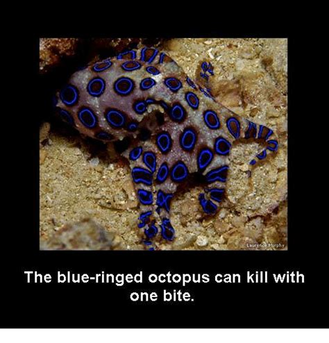 Octopus Meme 25 Best Memes About Blue Ringed Octopus Blue Ringed
