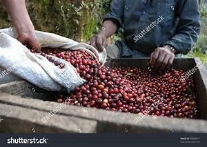 Coffee Beans Guatemala Stock Photo 38609677