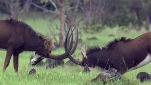 Sable Antelope / Wild Animal / Zambia | HD Stock Video 486 ...