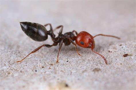 formiche volanti in casa formiche in casa imparare a conoscerle per evitarle