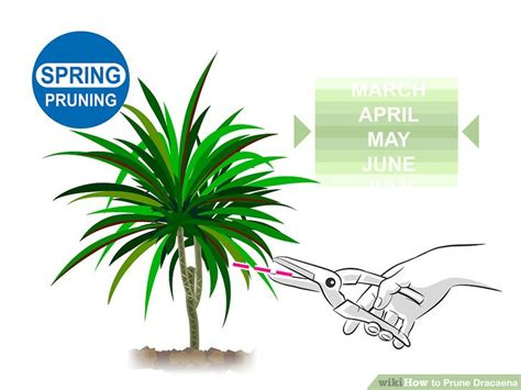 prune dracaena  steps  pictures wikihow