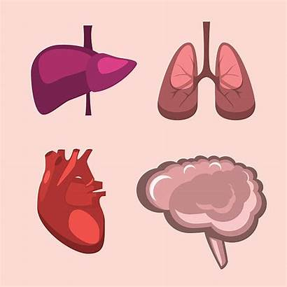 Heart Brain Lungs Liver Human Vector Anatomy