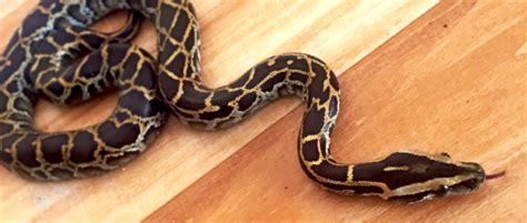 burmese pythons breeding   florida keys
