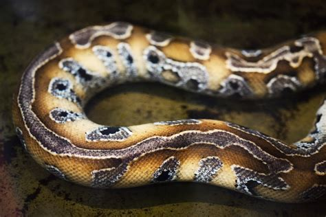 How Often To Snakes Shed by Why Do Snakes Shed Their Skin Wonderopolis