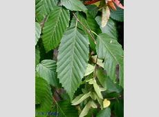Native Tree Spotlight Musclewood