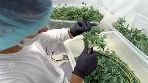 Delta 9 to grow pot for Canada's largest marijuana ...