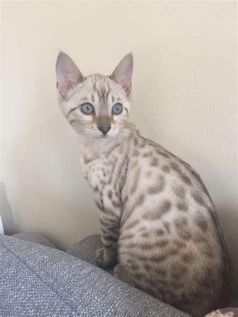 blue eyed snow bengal kitten bengal kitten bengal cat