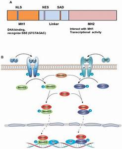 The Role Of Tgf Smad4 Signaling In Cancer