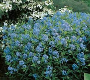 Blue Star Perennial Plant