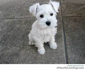 white schnauzer darling | Fur and Feather cute | Pinterest ...