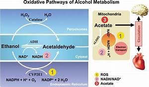 Alcohol Metabolism Chart Oxidative Pathways Of Alcohol Metabolism Alcohol Is
