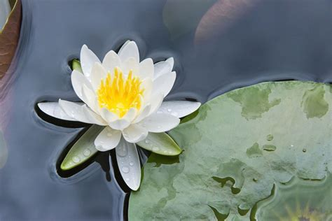 How to Grow and Care for Water Lilies and Lotus