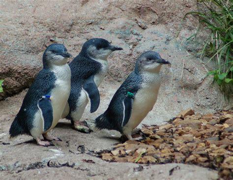 fairy penguin  blue fairy penguin