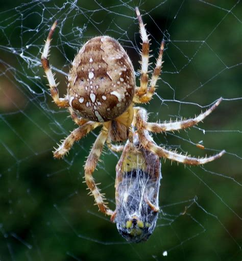 Garden Spider by Garden Spider With It S Prey Neat Bugs