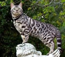 silver bengal cat silver bengali cat science and nature