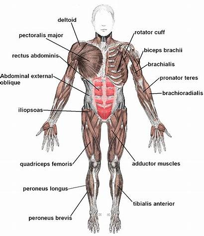 Muscular System Muscles Labeled Anterior Muscle Organs