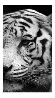 Wise white tiger wallpapers and images - wallpapers ...