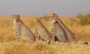 Katze Kotzt Viel : fotos gepard gro e katze viel tiere ~ Frokenaadalensverden.com Haus und Dekorationen