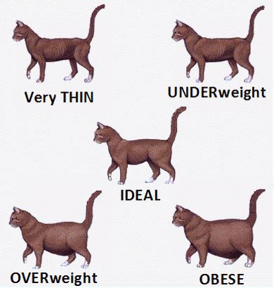 cat body shape guide ideal size  weight  cats