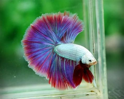 betta fish salamanders  dragon  pinterest