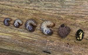 Engerlinge Im Hochbeet : larven in der pflanzerde rosenk fer maik fer oder junik fer ~ Whattoseeinmadrid.com Haus und Dekorationen