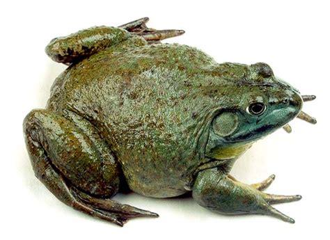 designer  bullfrog hd images