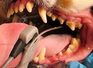teeth and care lynwood cavalier king charles