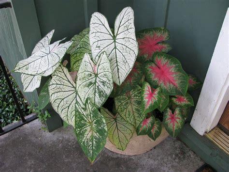 grow fancy leaf caladiums