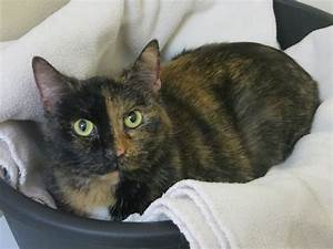 Striking 'two faced' Chimera cat comes to shelter as a ...