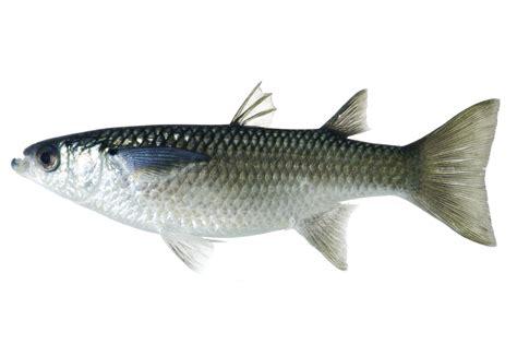 mugilidae