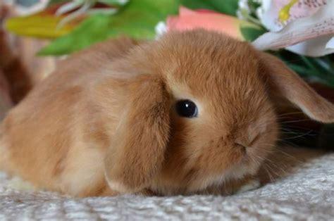 Gabbia Coniglio Nano Prezzo - coniglio nano ariete prezzo conigli nani coniglio nano